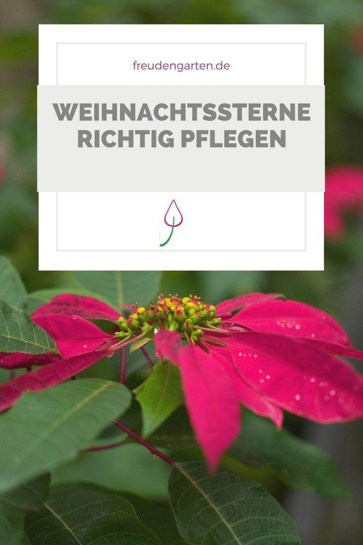Die Pflege von Weihnachtssternen ist ganz einfach. Die Pflanze blüht im nächsten Jahr wieder. #plants #weihnachtsstern #Pflanze #Zimmerpflanze