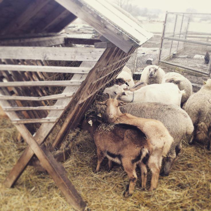 #krmimedivouzver #nasdvorek #ovce #koza #stado #dvorek #bylinkovepanstvi #zamek #panstvi #rochlov #plzen # krmeni #hospodarstvi #tesimesenajehnatkaakuzlatka