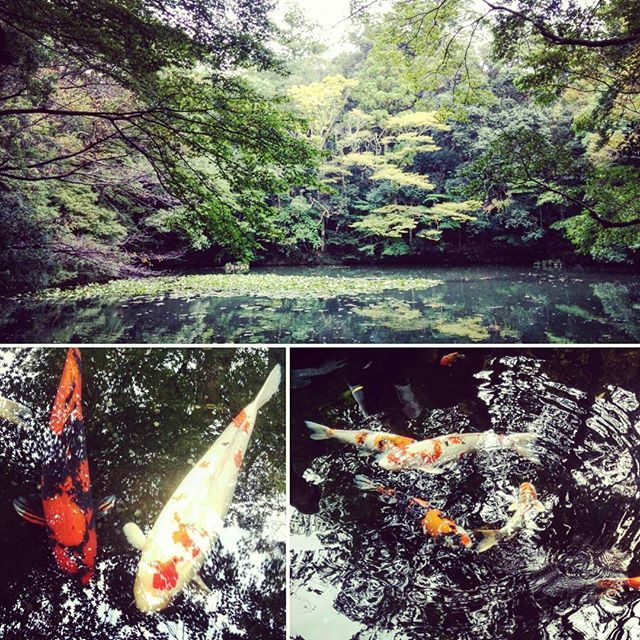 Secret garden with fish that I've seen only in sampei's cartoon.  #sampei #fish #goldenfish #pescatore #grandi #orecchie #a #sventola