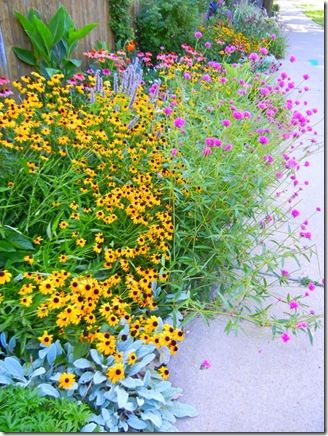 How To Grow Gomphrena Fireworks; thrives in heat, sun, and poor soil.