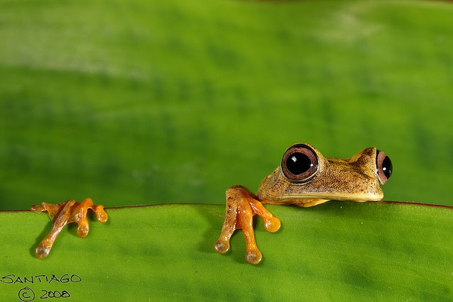 Map Tree frog - Hypsiboas geographicus