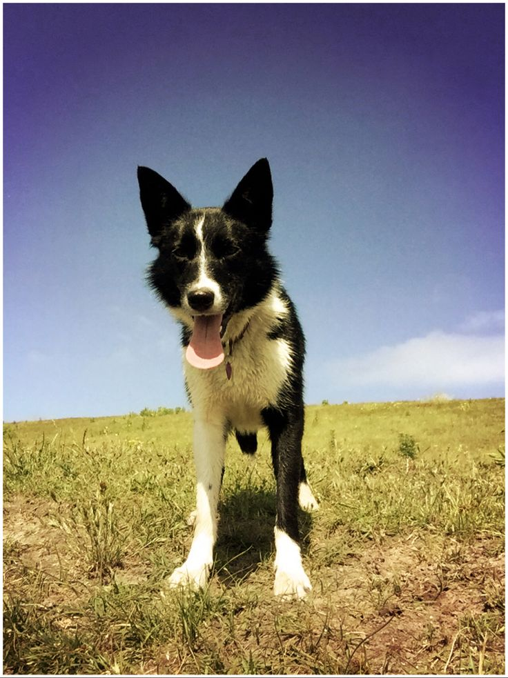 My beautiful black and white short haired Border Collie Kim