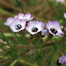 Semi di Occhi di bambola, occhi d'uccello - Gilia tricolor - La Semeria