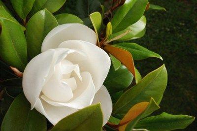 Magnolia grandiflora 'Little Gem' (Dwarf magnolia)