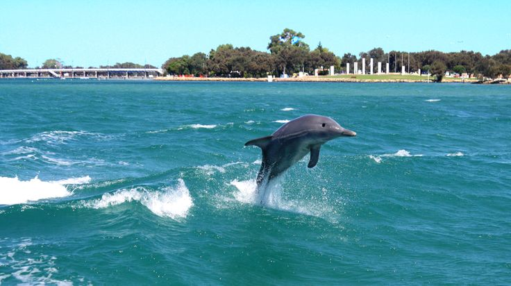 A great leaper having a ball right in the centre of Mandurah. #dolphin #watching #cruise