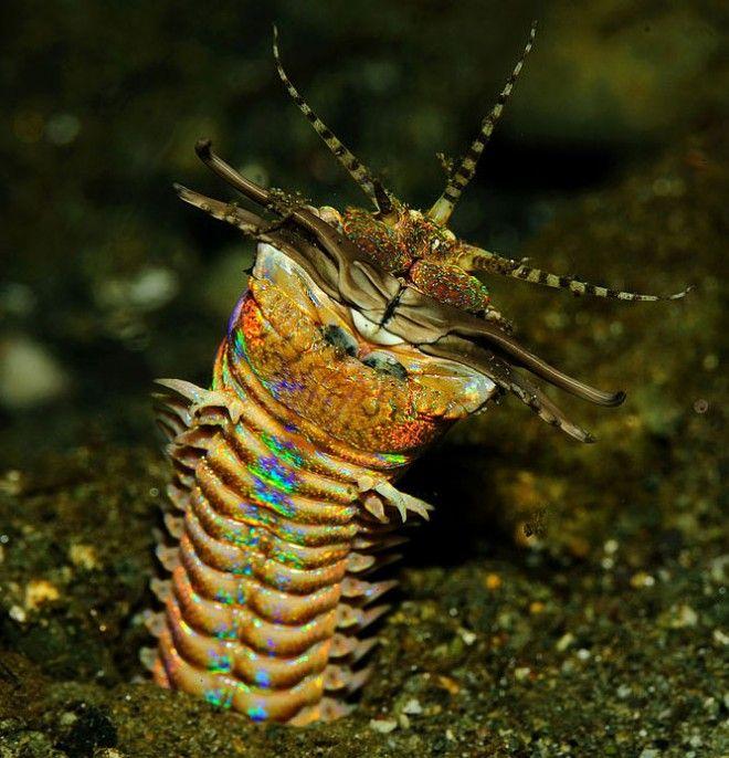 Ferocious 10-Foot Bobbit Worm Is the Ocean's Most Disturbing Predator
