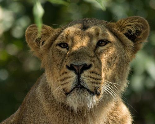 Lioness - Panthera leo London Zoo