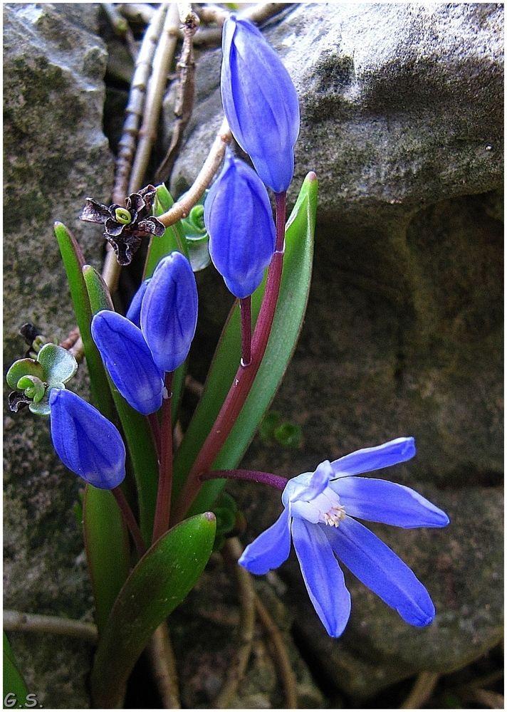 33 besten Blausterne (Scilla) Bilder auf Pinterest Blaustern