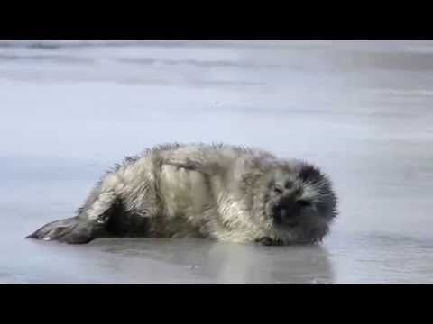 Here's Norppa. A furry gray seal that lives only in parts of lake Saimaa in Finland. There's only about 150 of them in the world and now you can watch some of them live! (Link in comments)