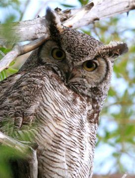 Owl's Glare