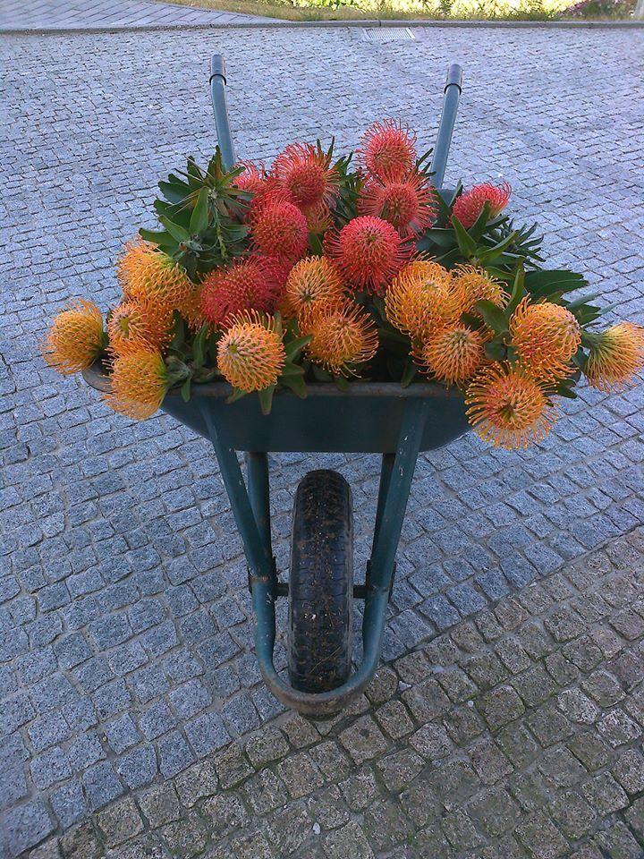 proteas from my friend Manuela Silva