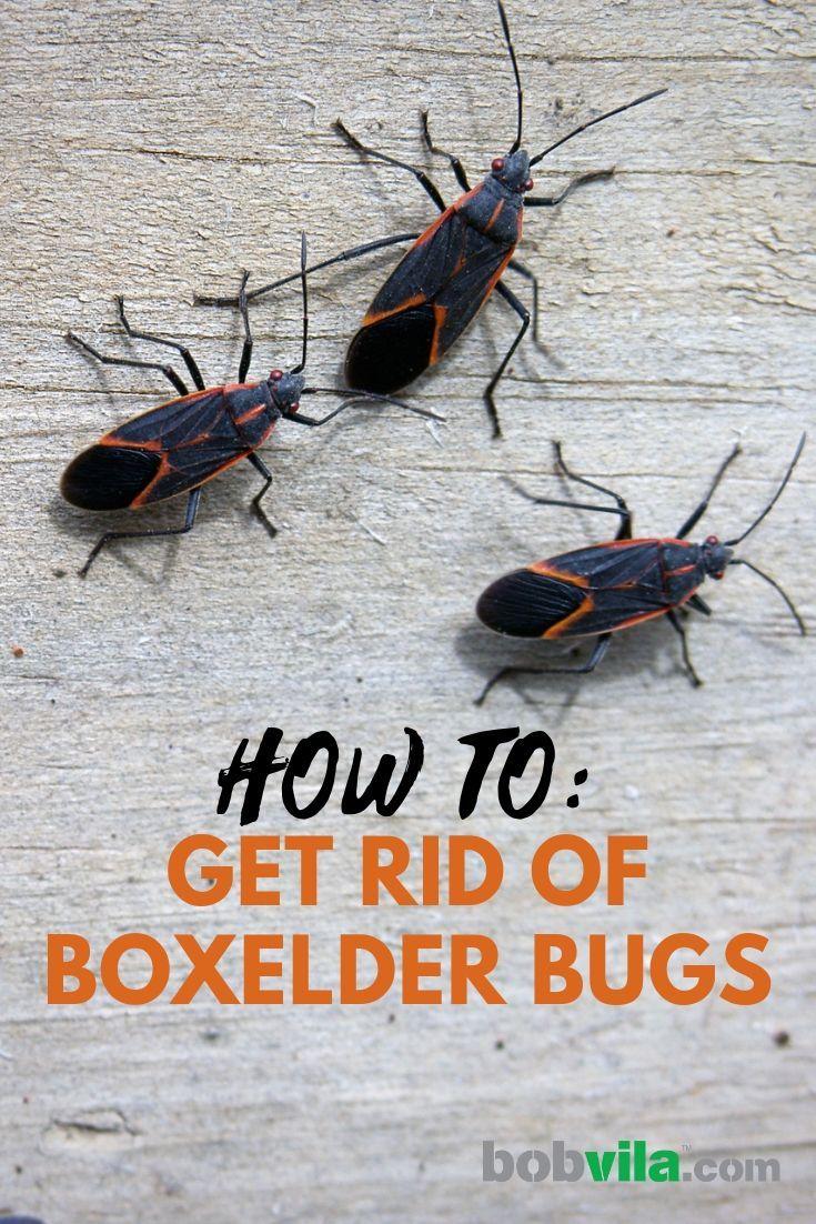 How To Get Rid Of Boxelder Bugs Box Elder Bugs Garden Bugs Stink Bugs