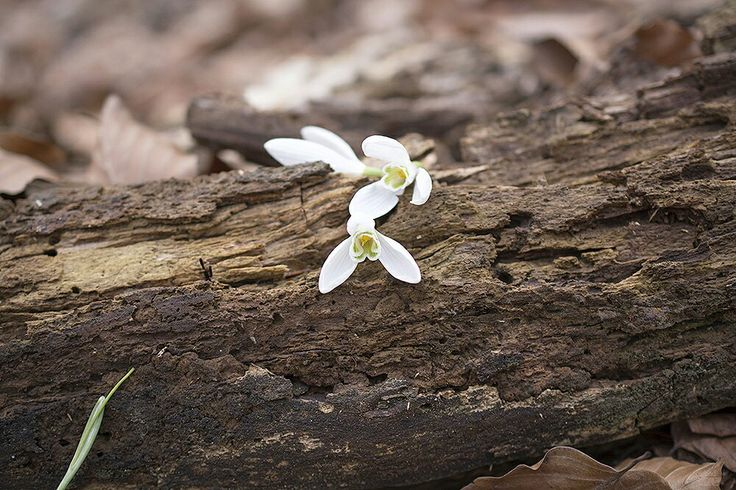 Snowdrops, wood, spring