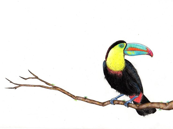 Tucan - ilustration - color