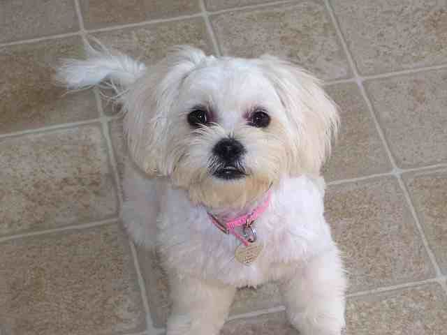 Peekapoo Dogs For Adoption