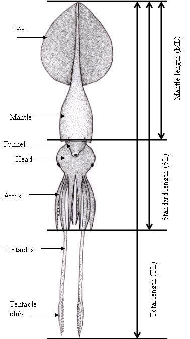 Giant Squid and Colossal Squid Fact Sheet | TONMO.com: The Octopus News Magazine Online