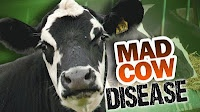 Cattle into Cannibals. The Real Issue with the Recent Case of Mad Cow Disease. The most recent case of Mad Cow Disease has people up in arms—but not for the right reasons.