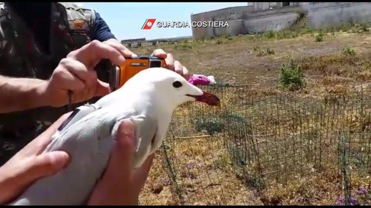 Gabbiano corso a rischio estinzione: Ispra e guardia costiera si alleano per salvarlo