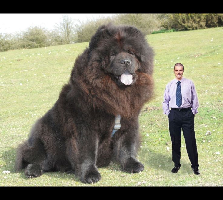 worlds largest dog of 2014 maxresdefaultjpg - Biggest Cat In The World Guinness 2014