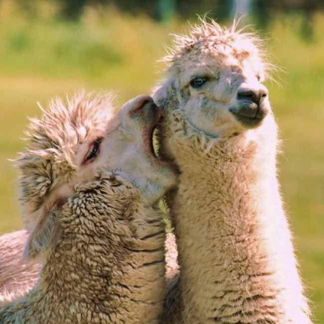 Best 25 Baby Llama Ideas On Pinterest: Best 25+ Pictures Of Llamas Ideas On Pinterest