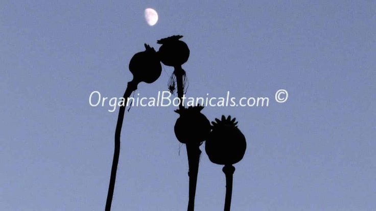 Comment cultiver graines de pavot | Growing Coquelicots de fleurs Dosettes FRENCH via @jdubtbird - Pour le tutoriel complet allez ici: http://wp.me/P4wKm5-52  - Voir l'article Wiki pour cette: http://fr.wikihow.com/faire-pousser-des-papavéracées via @wikihow