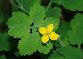 Greater Celandine. Celandine stimulates enzyme production from the pancreas, helps the liver eliminate foreign particles, stimulates the production of bile, helps relieve gallbladder spasms and improves a sluggish liver. #livercleansing, #livercleanse