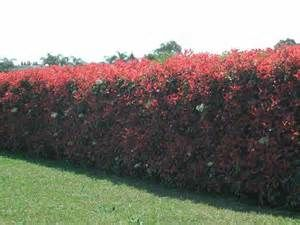 Photinia red robin is a fast grower for a living privacy fence