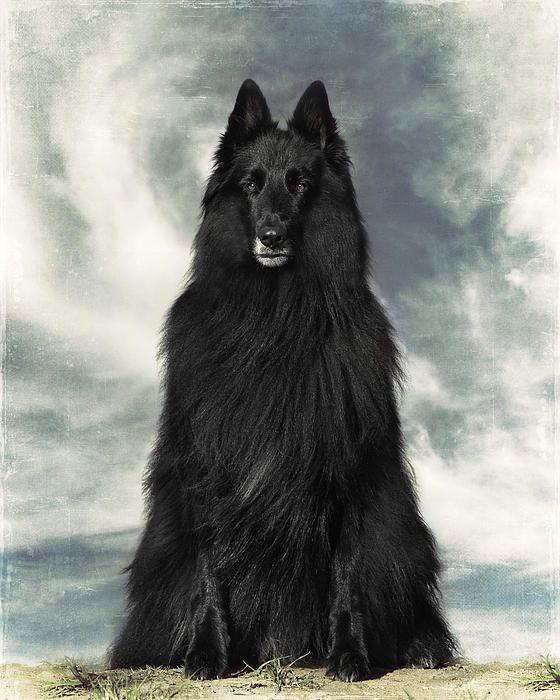 Portrait Of Wolfcub Belgian Shepherd Groenendael