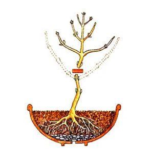 Como criar um bonsai de semente passo à passo...