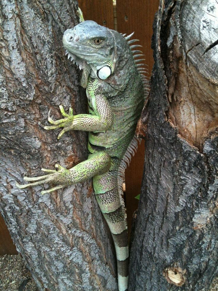7 Best How To Draw An Iguana Images On Pinterest