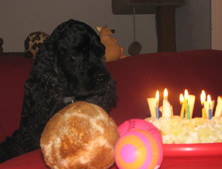 """Leaf Anderson celebrates the 9th anniversary (birthday) of his adoption day, October 7, 2006. His """"cake"""" is special prescription dog food we make for him at home.  He is now 10 years old. Long live the Leafster!"""