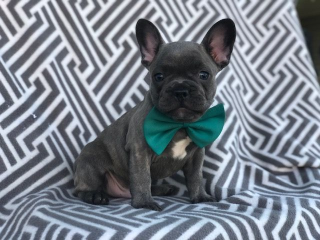 Puppies For Sale French Bulldog Puppies Puppies Lancaster Puppies