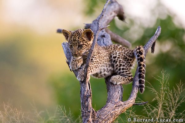 leopard cub in the okavango delta