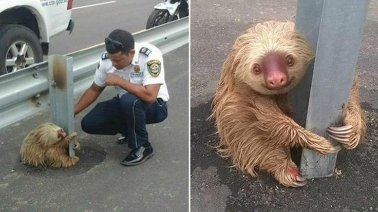 Adorable Sloth Clinging to a Guardrail Before Highway Rescue (LOOK) - Good News Network