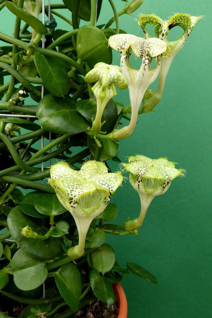 Ceropegia sandersonii   Flores raras, Flores inusuales y ...