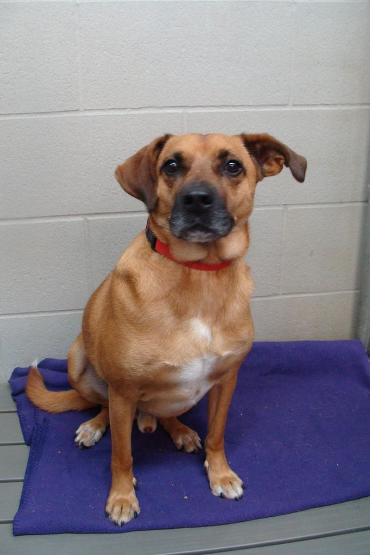 12/6/2015♥♥♥7/30/15 ♥Sweet boy seeks gentle family to love.♥ Please come by to meet me. Meet Scout, a Petfinder adoptable Labrador Retriever Dog | Bryan, OH | Scout is a hard knock case at the shelter, He was part of our largest humane case ever. He has some...