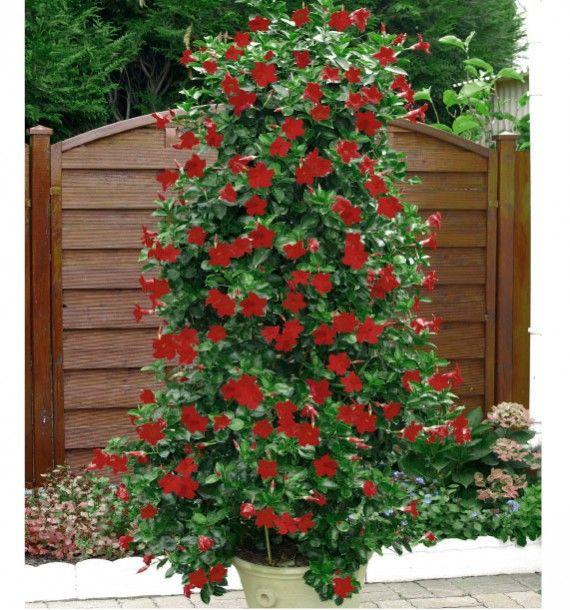 Dipladenia Sundaville Red Plante En Ligne Trepadeiras Jardinagem Flores