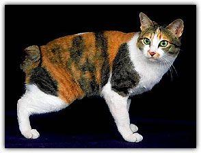 Resultado de imagem para Gato Bobtail Japonês