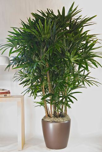 palmeira-ráfis-plantas-ambientes-internos