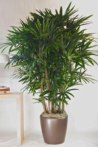 palmeira-ráfis-plantas-ambientes-internos                                                                                                                                                                                 Mais