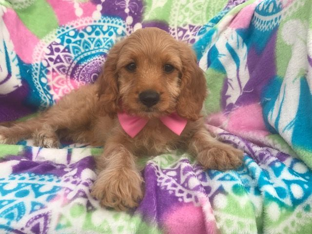 Cavapoo puppy for sale in EPHRATA, PA. ADN-36116 on PuppyFinder.com Gender: Female. Age: 11 Weeks Old