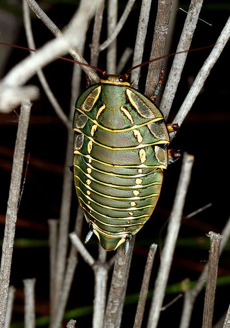 Painted Trilobite Cockroach (Polyzosteria mitchelli) | Flickr - Photo Sharing!