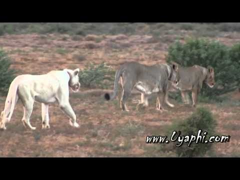 White Lions of the Sanbona Game Reserve - http://www.uyaphi.com/Acc/wc/dwyka-tented-lodge.htm