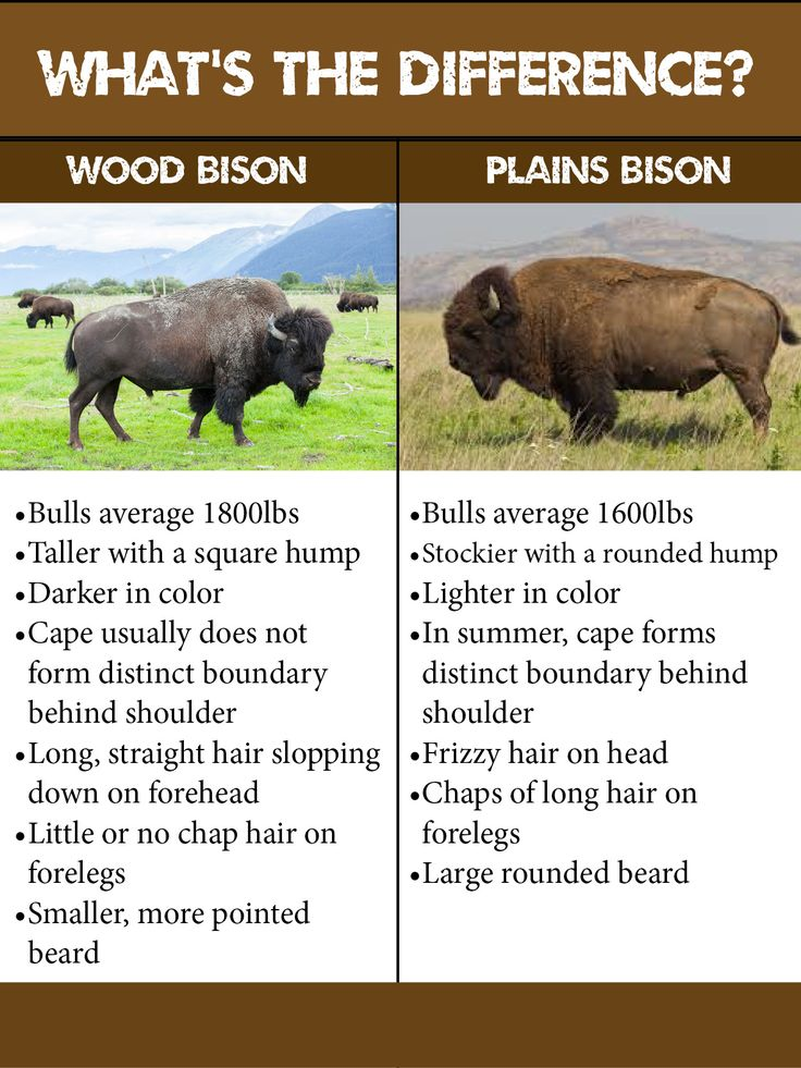 chart explaining differences between wood bison and plains bison bison pinterest chart. Black Bedroom Furniture Sets. Home Design Ideas