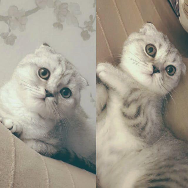 للبيع ذكر سكوتش فولد العمر 4 شهور مطعم ومعاه دفتر التطعيمات نظيف ولعوب ومتعلم عاللتر بوكس من ام وابو سكوتش واردين اوكرانيا للاستفسار د Cats Cat Lovers Pets