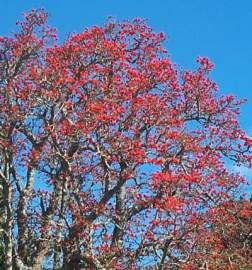 Erythrina lysistemon in spring