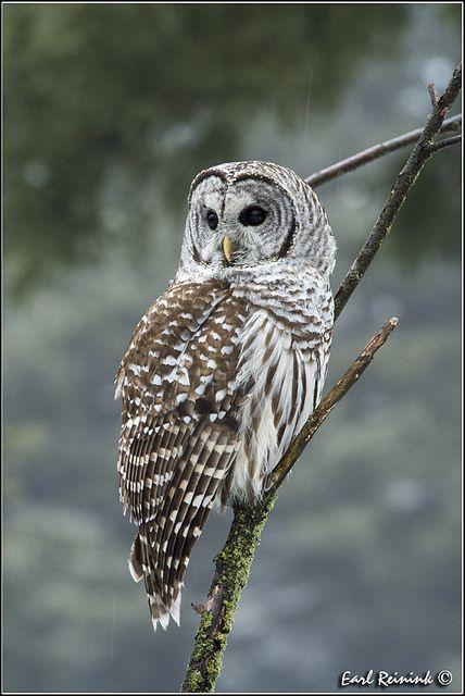 Barred Owl (20130129-0515)   by Earl Reinink