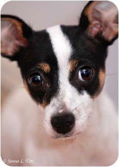 rat terrier puppy ..