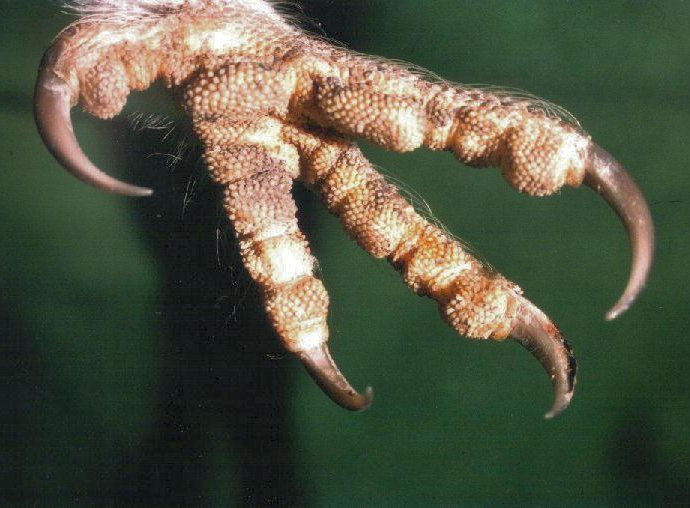 Owl talons – The Owl pages | Owl theory