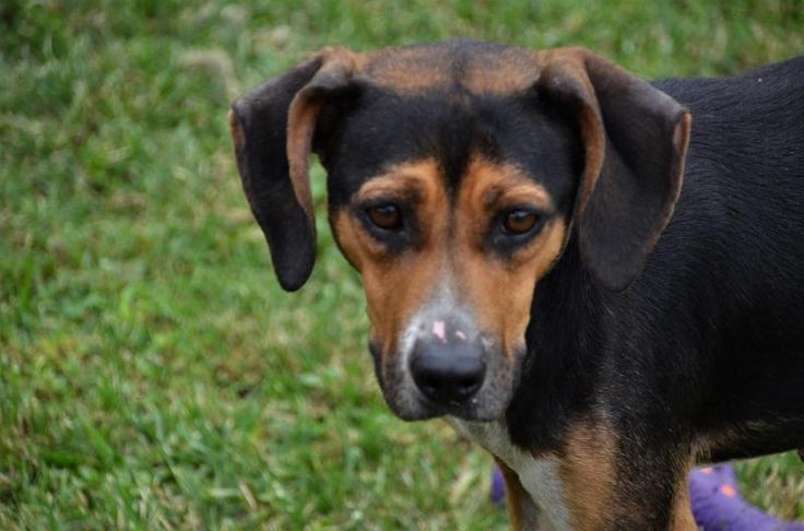 Peggy is an adoptable Hound searching for a forever family near Northwood, NH. Use Petfinder to find adoptable pets in your area.